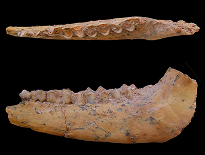 Jaw bone of a gazelle from Jebel Irhoud, Morocco. The site contains the oldest-known skeletons of modern humans. UC Davis anthropologist Teresa Steele studied animal bones from the site, showing that our ancestors ate lots of gazelle and other game. (Photo by Teresa Steele, UC Davis)